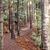 Kauri Grove, Agathis australis NT6+.