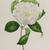 Camellia welbankiana sketch 08.