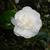 Camellia welbankiana 01.
