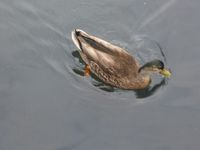 Duck swimming.