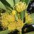 Flowers of Metrosideros elegans.