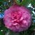 Camellia japonica 'Triumphans'.
