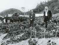 Breidecker's Vineyard, Kohukohu, 1899.